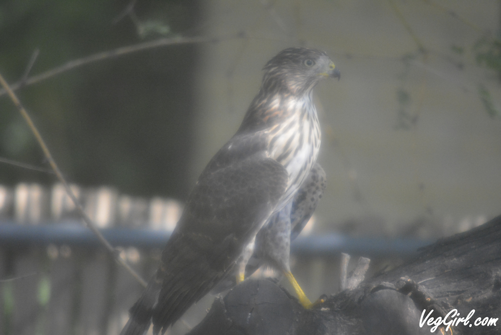VegGirl spotted this Cooper's Hawk in Northwest Tucson, AZ